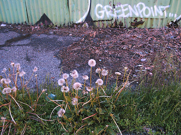 Greenpoint Dandelions, 2003, photo by Fred Hatt