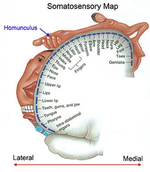 Somatosensory Homunculus, artist unknown