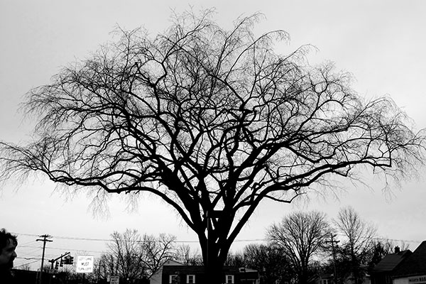 Northampton Tree, 2012, photo by Fred Hatt
